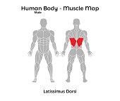 Male Human Body - Muscle map, Latissimus Dorsi