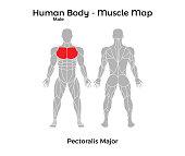 Male Human Body - Muscle map, Pectoralis Major