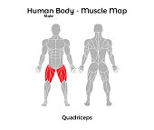 Male Human Body - Muscle map, Quadriceps