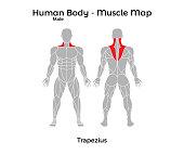 Male Human Body - Muscle map, Trapezius