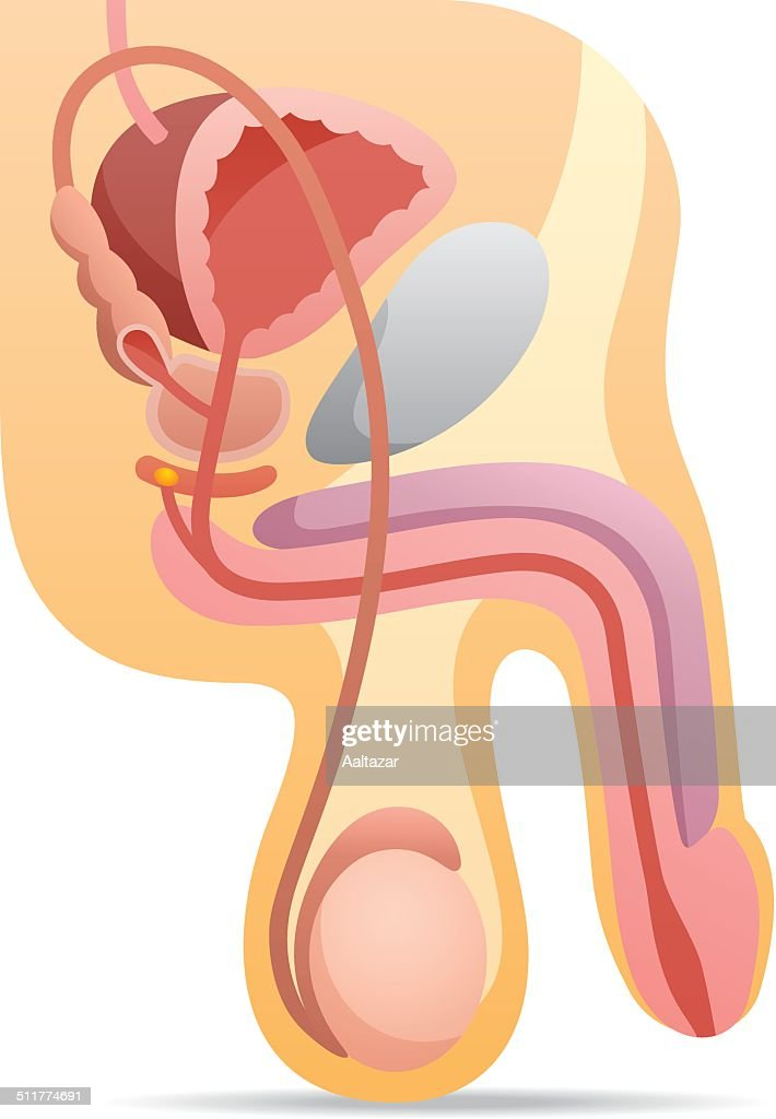 Male Reproductive System : stock illustration