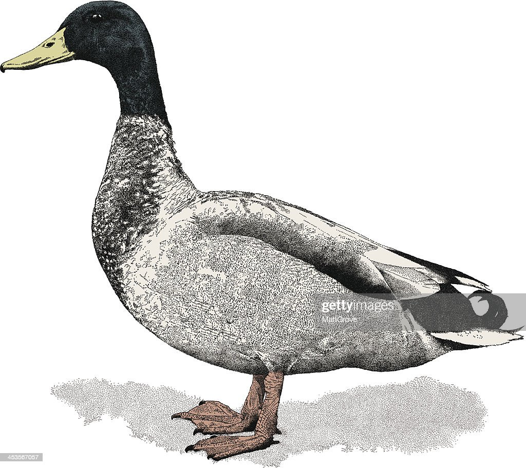 Mallard : stock illustration