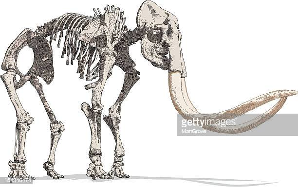 mammoth skeleton - images of mammoth stock illustrations