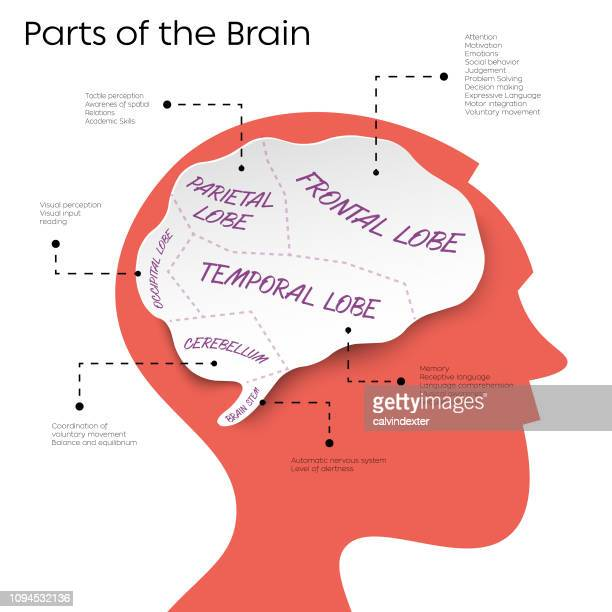 man silhouette with parts of the brain infographic - frontal lobe stock illustrations, clip art, cartoons, & icons