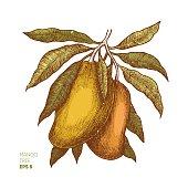 Mango tree vintage illustration. Botanical mango fruit illustration. Engraved mango.
