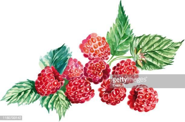 many raspberries on a white background - raspberry stock illustrations