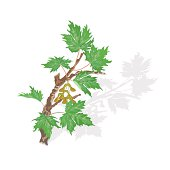Maple branch vector