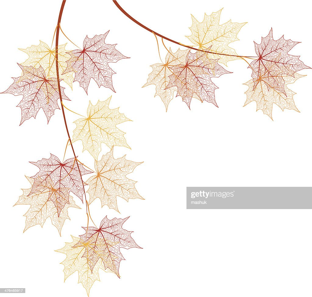 Maple branches
