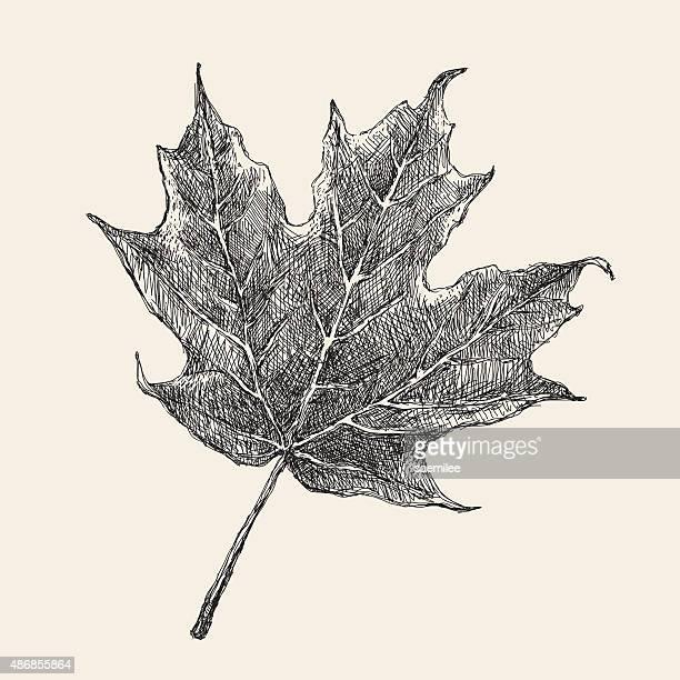 stockillustraties, clipart, cartoons en iconen met maple leaf drawing - esdoornblad
