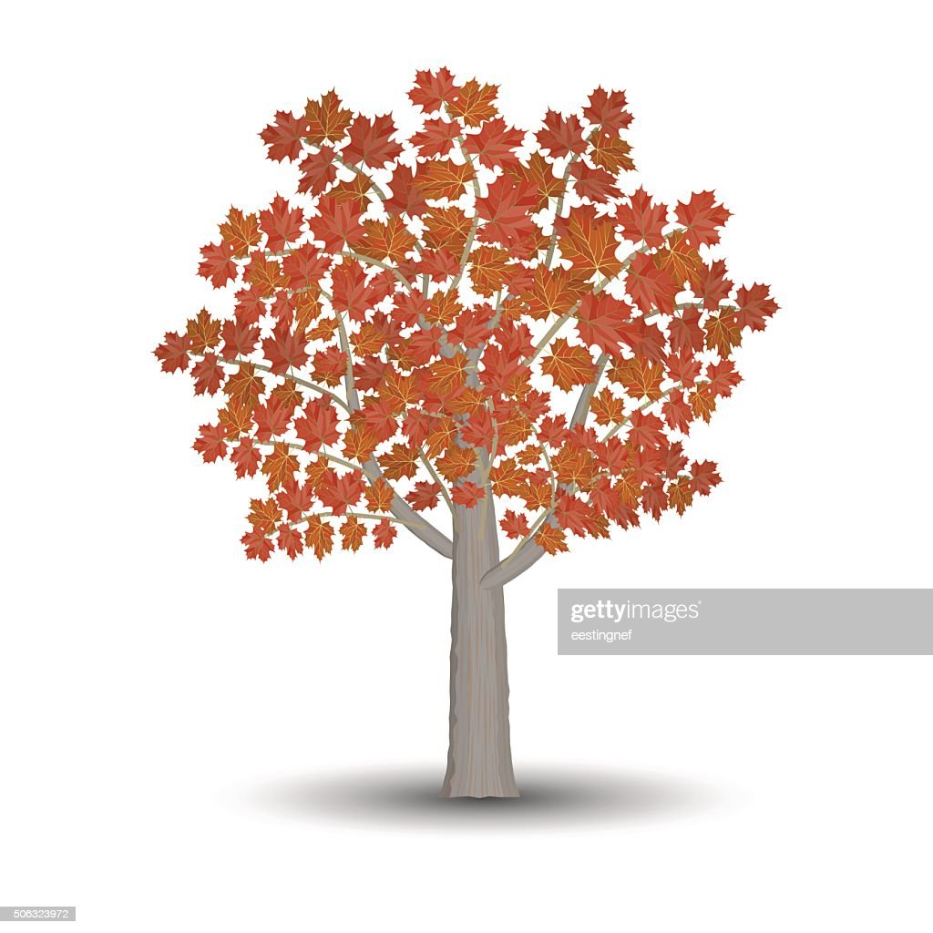 maple tree isolated on white background.