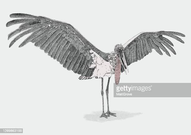 illustrations, cliparts, dessins animés et icônes de marabou stork wings spread - marabout