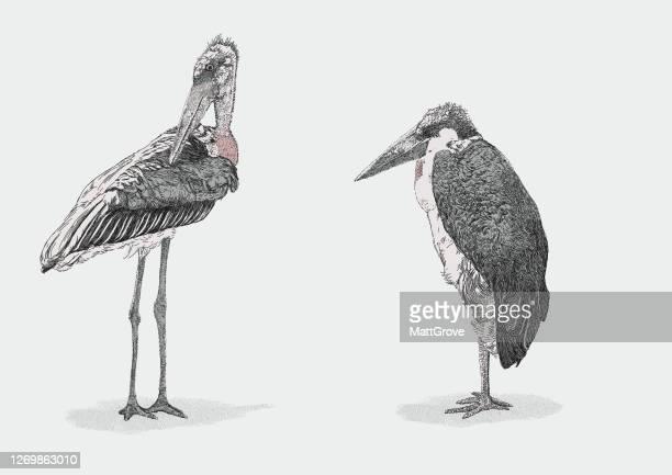 illustrations, cliparts, dessins animés et icônes de marabou cigognes oiseaux - marabout