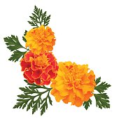 marigolds on white