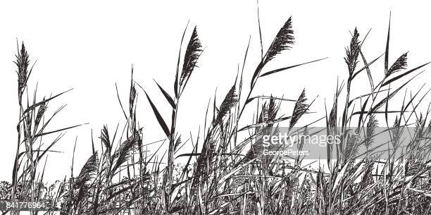 marsh grass phragmites australis. common reed. - pen and ink stock illustrations, clip art, cartoons, & icons