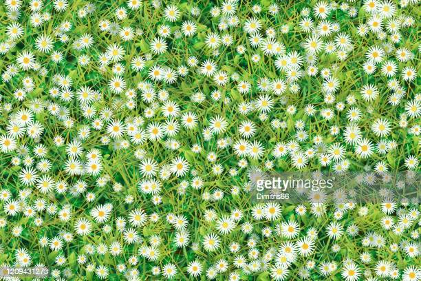 meadow of chamomiles and grass. seamless background - daisy stock illustrations