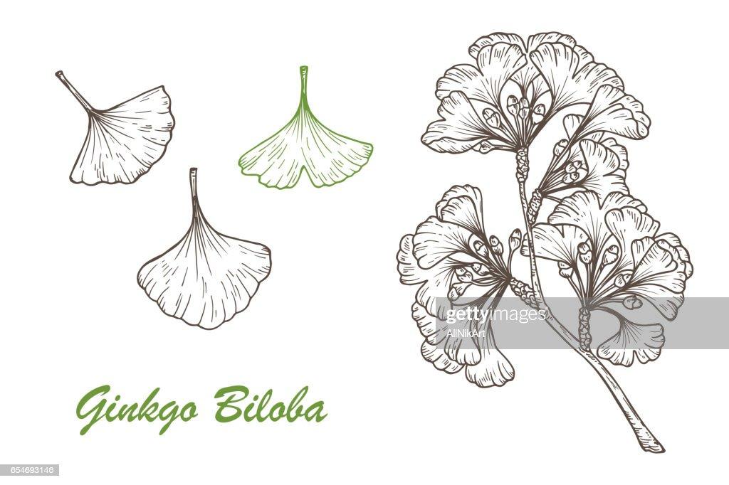 Medicinal plant Set. Hand drawn Ginkgo Biloba Tree. Branches and leaves. Vector illustration.