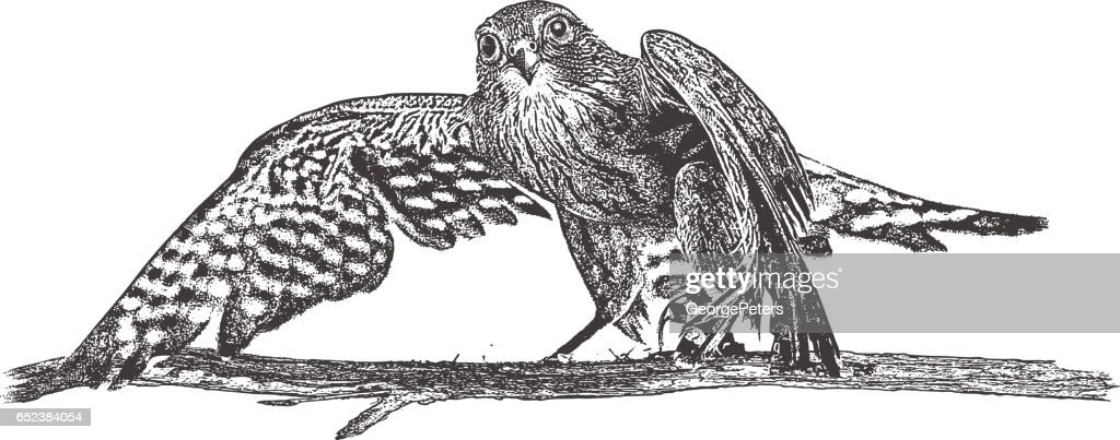 Merlin Falcon perching on a branch : stock illustration