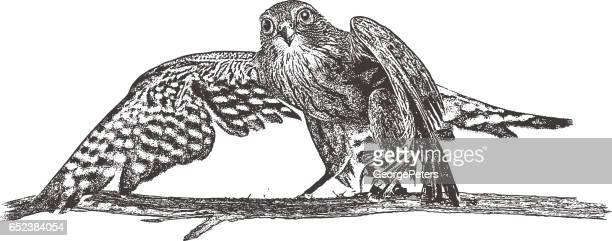 merlin falcon perching on a branch - falcon bird stock illustrations, clip art, cartoons, & icons
