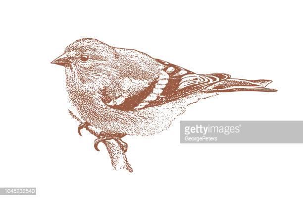 Mezzotint illustration av en Guldsiskan perching