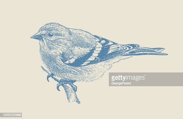 mezzotint illustration of an american goldfinch perching - warbler stock illustrations