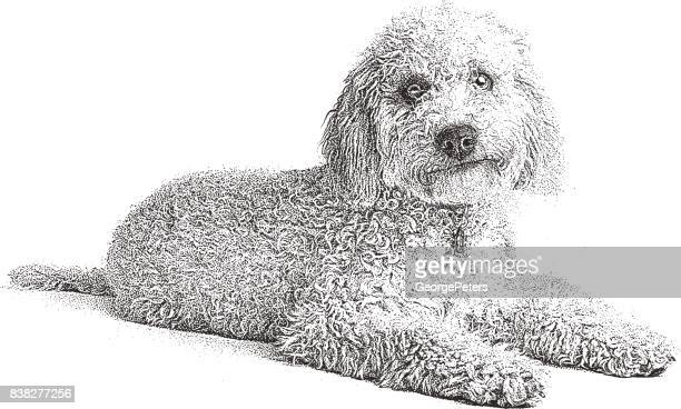 Mezzotint illustration of an Italian Lagotto Romagnolo Dog. Known as the Truffle searching dog.