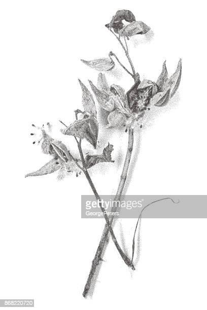 mezzotint illustration of milkweed plant and seeds pods - milkweed stock illustrations