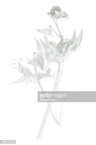 mezzotint illustration of milkweed plant and seeds pods - desaturated stock illustrations, clip art, cartoons, & icons