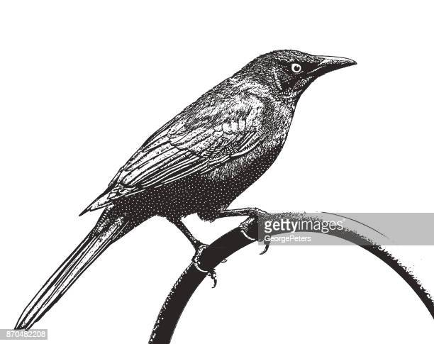 Mezzotint silhouette illustration of a Common Grackle, or Quiscalus quiscula