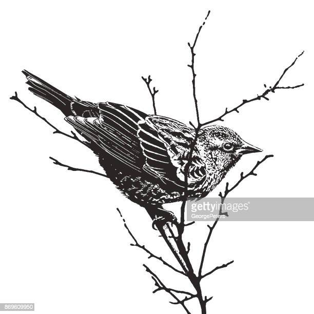mezzotint silhouette illustration of a female red-winged blackbird - pen and ink stock illustrations, clip art, cartoons, & icons