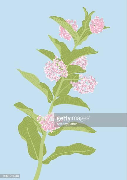 milkweed plant - milkweed stock illustrations