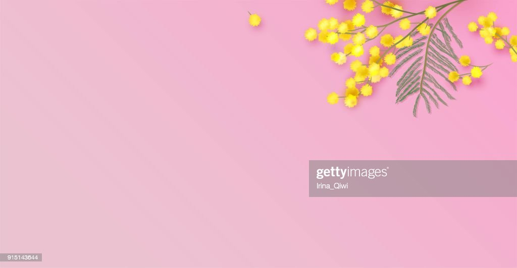 Mimosa flowers on pink background.