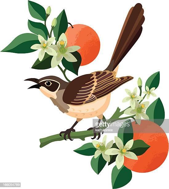 ilustrações de stock, clip art, desenhos animados e ícones de tordo-imitador e flor de laranjeira - laranjeira