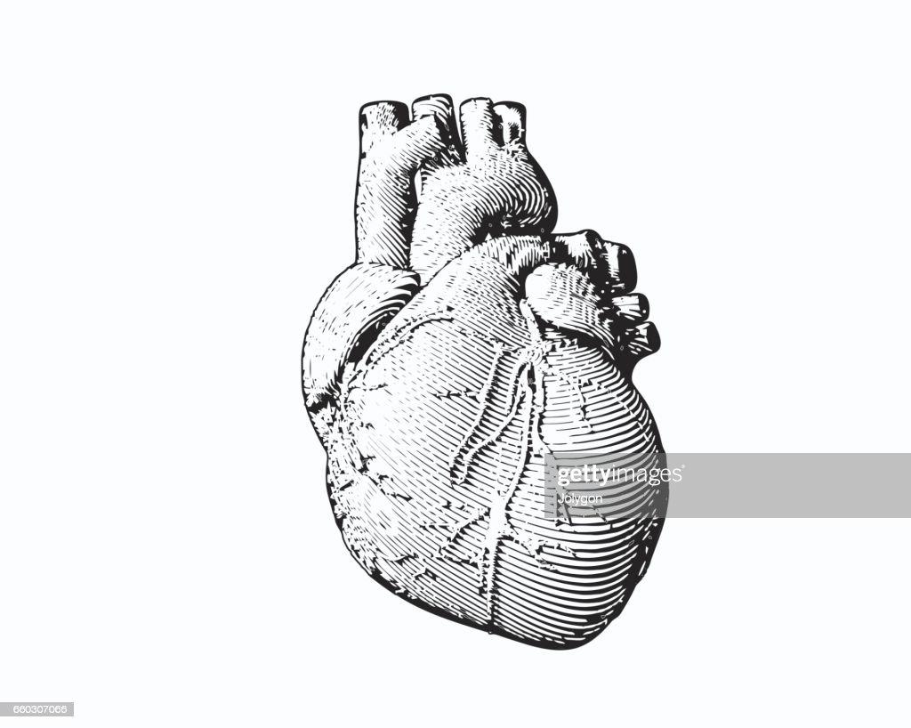 Monochrome engraving human heart illustration