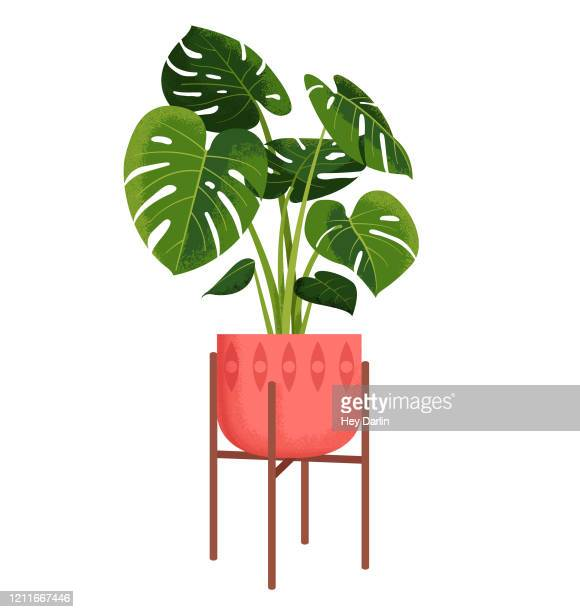 monstera zimmerpflanze - fensterblatt aroid stock-grafiken, -clipart, -cartoons und -symbole