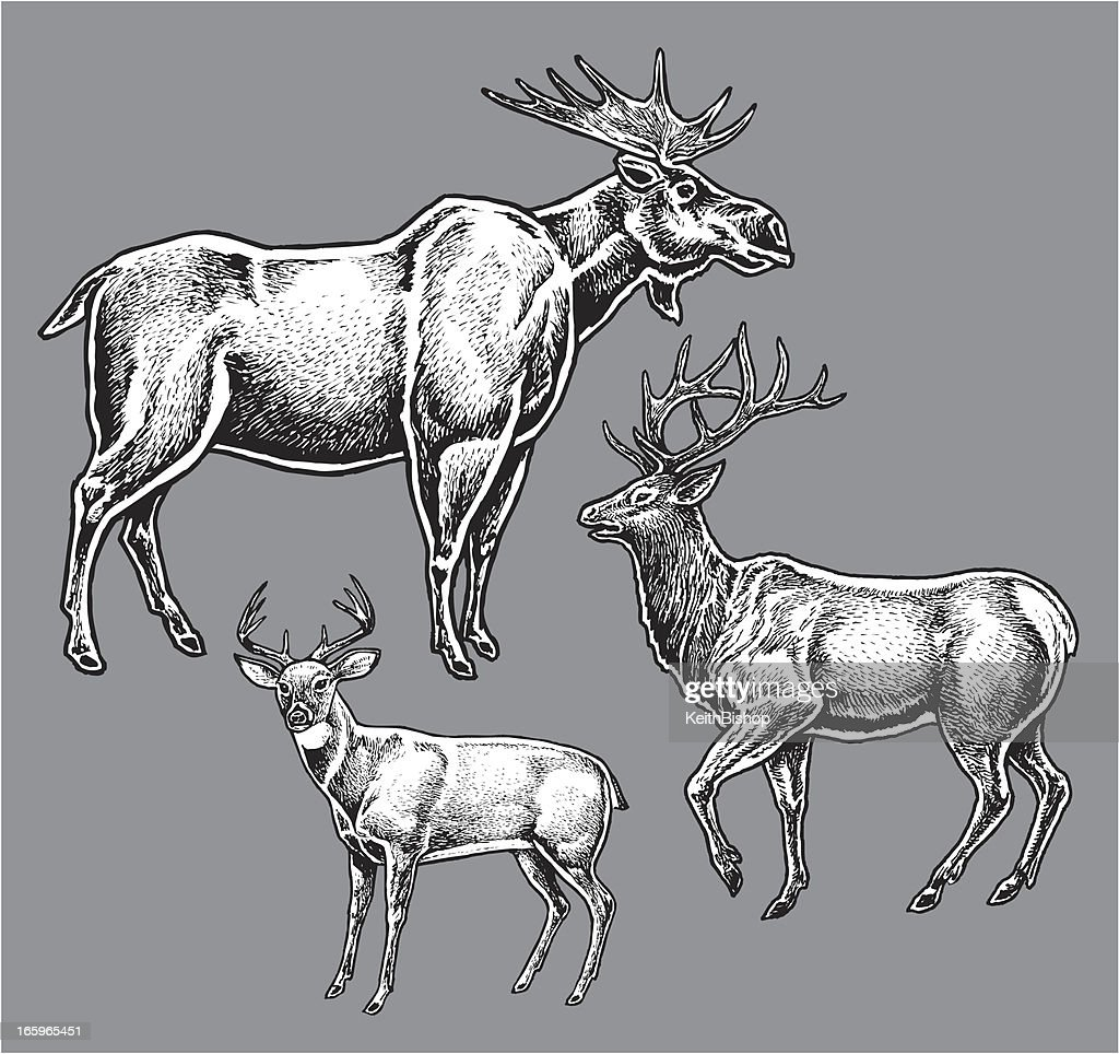 Moose, Elk, Deer or Buck - Wild Animals