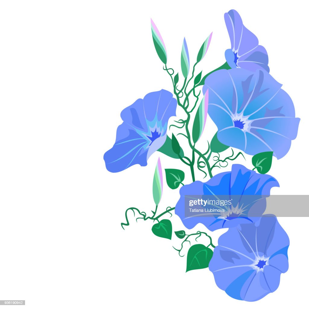 Morning glory vine with flowers (Ipomoea tricolor).