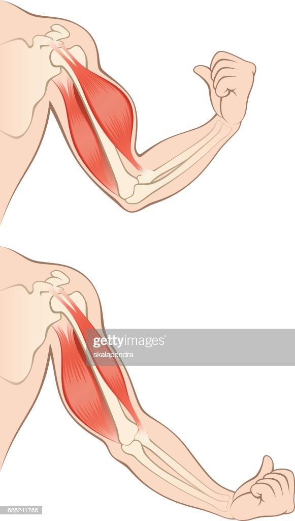 Muscles human hand