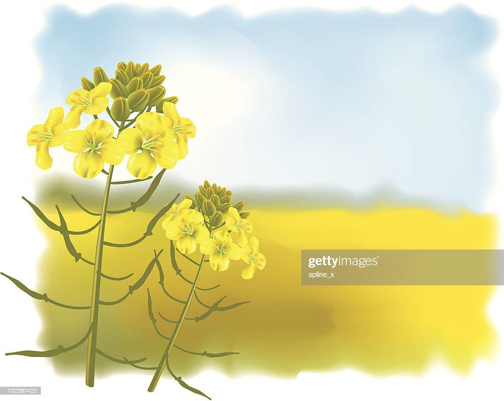 Mustard flowers with Field.