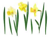 Narcissus set vector illustration.