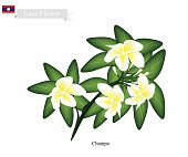 National Flower of Lao, Champa or Plumeria Frangipanis