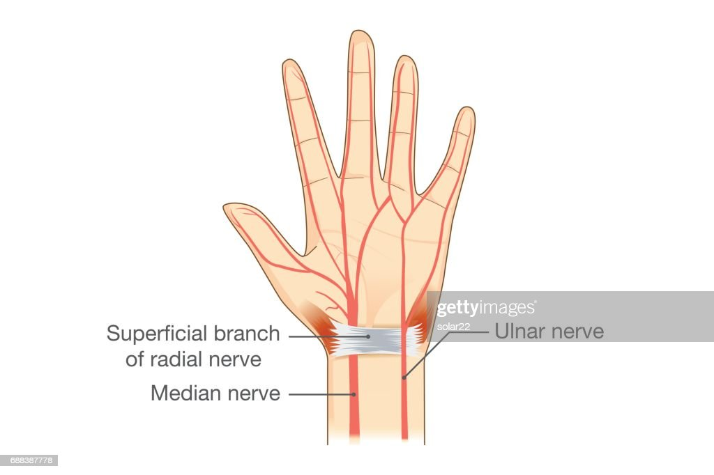 Nerves of the Hand in vector style.