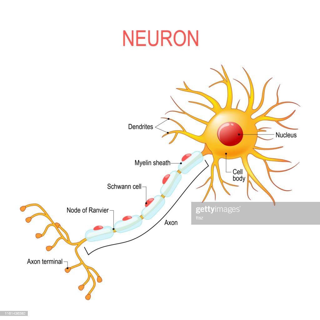 Neuron anatomy. Structure of a nerve cell : stock illustration