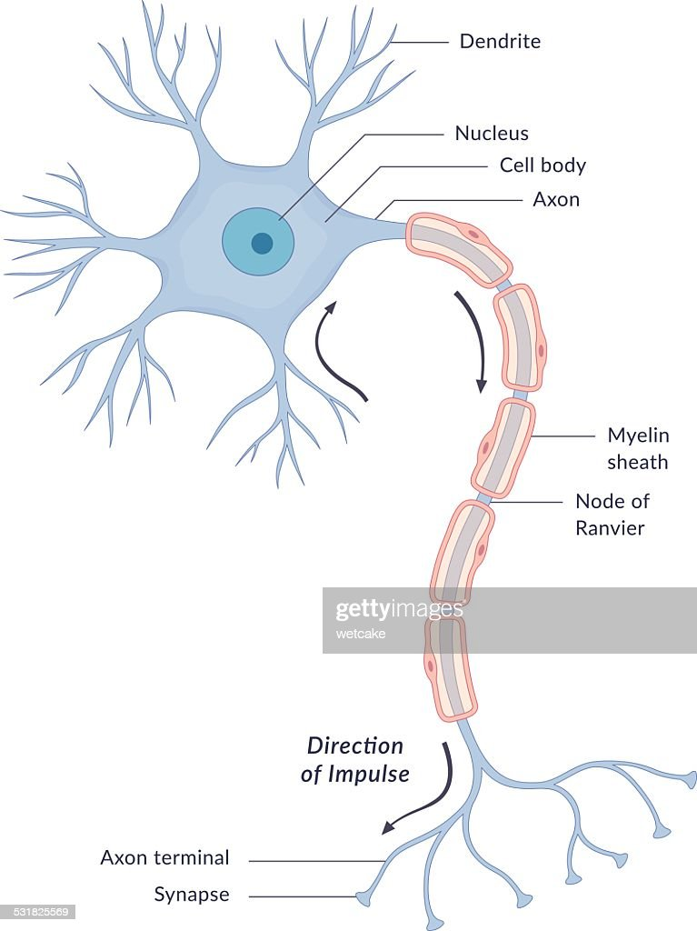 Nerve cell stock illustrations and cartoons getty images neuron diagram ccuart Images