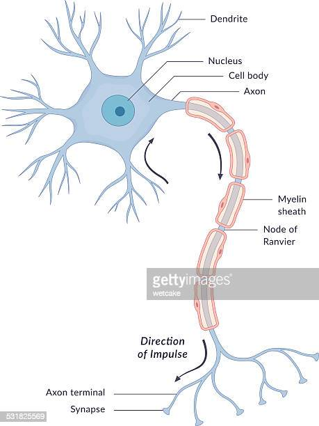 neuron diagram - human nervous system stock illustrations