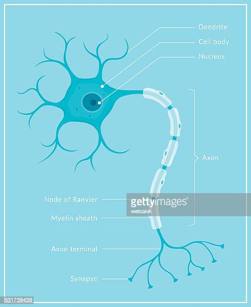neuron - human nervous system stock illustrations
