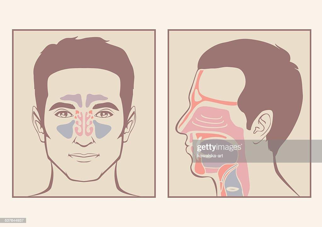 nose, throat anatomy