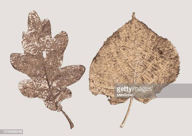 oak and poplar leaves - rotting stock illustrations, clip art, cartoons, & icons