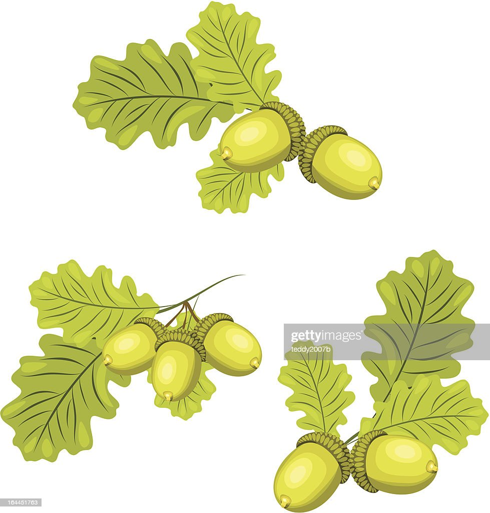 Oak branches with acorns