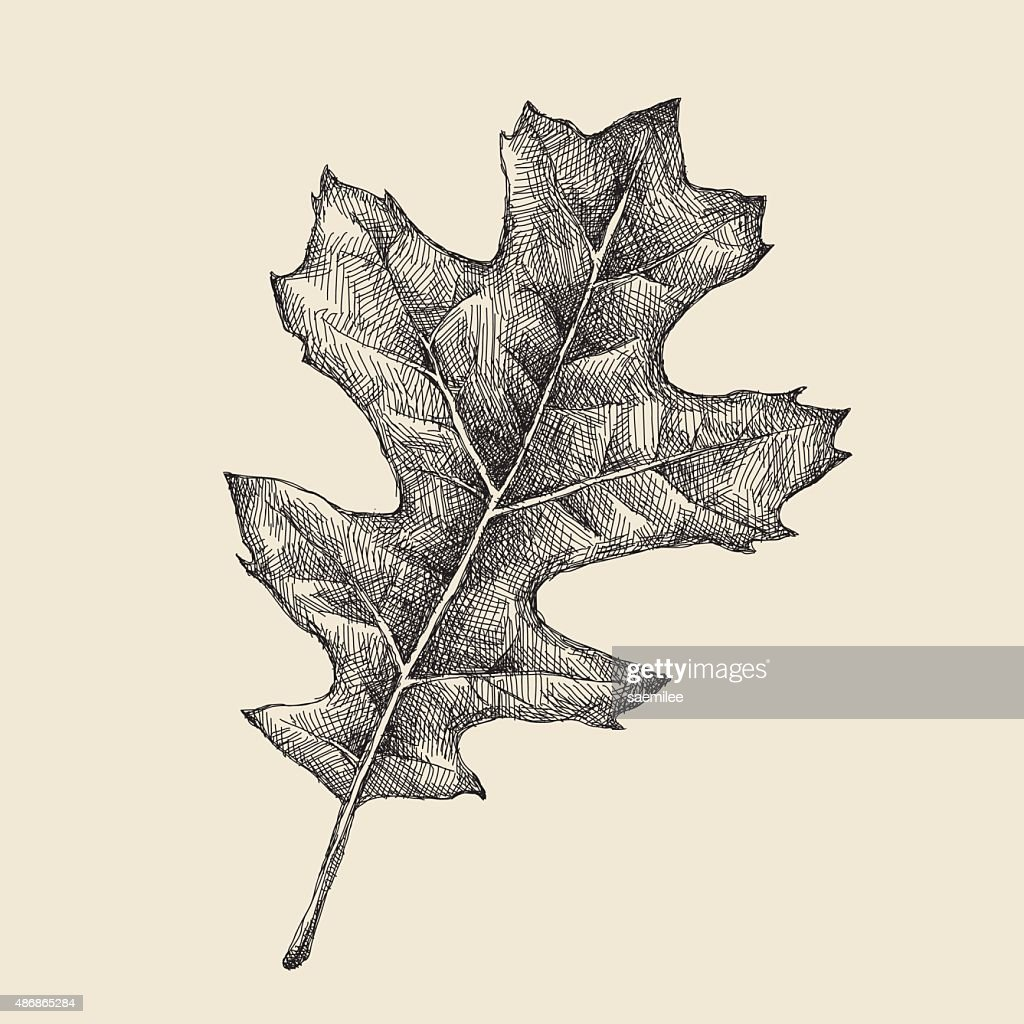 Oak Leaf Drawing Vector Art | Getty Images