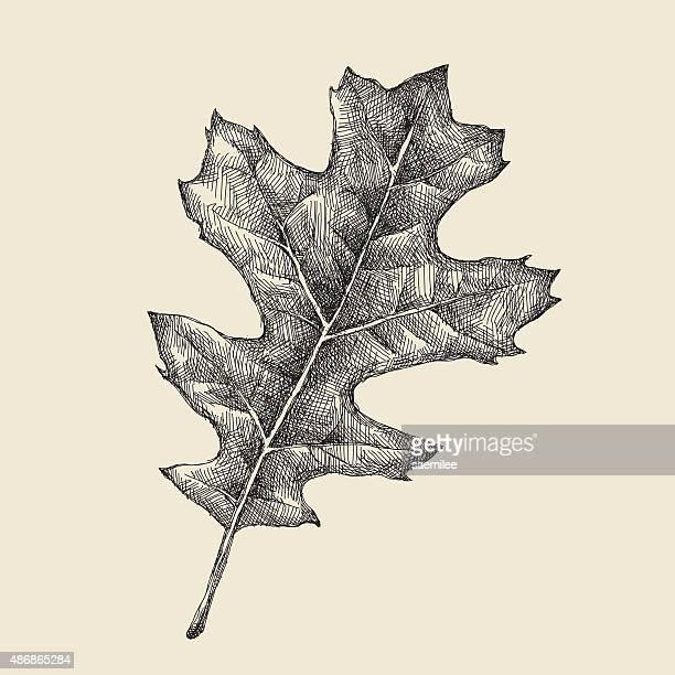 oak leaf drawing - oak leaf stock illustrations
